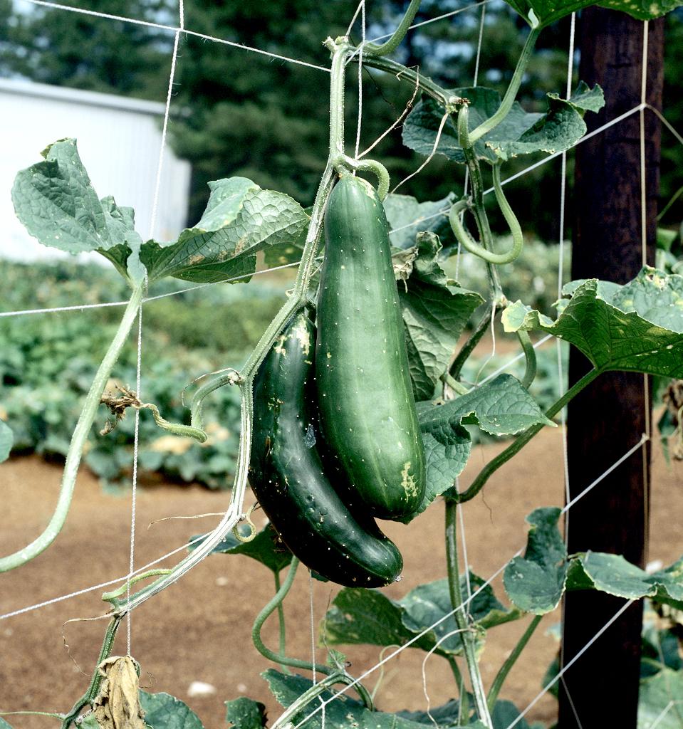 comment planter concombre