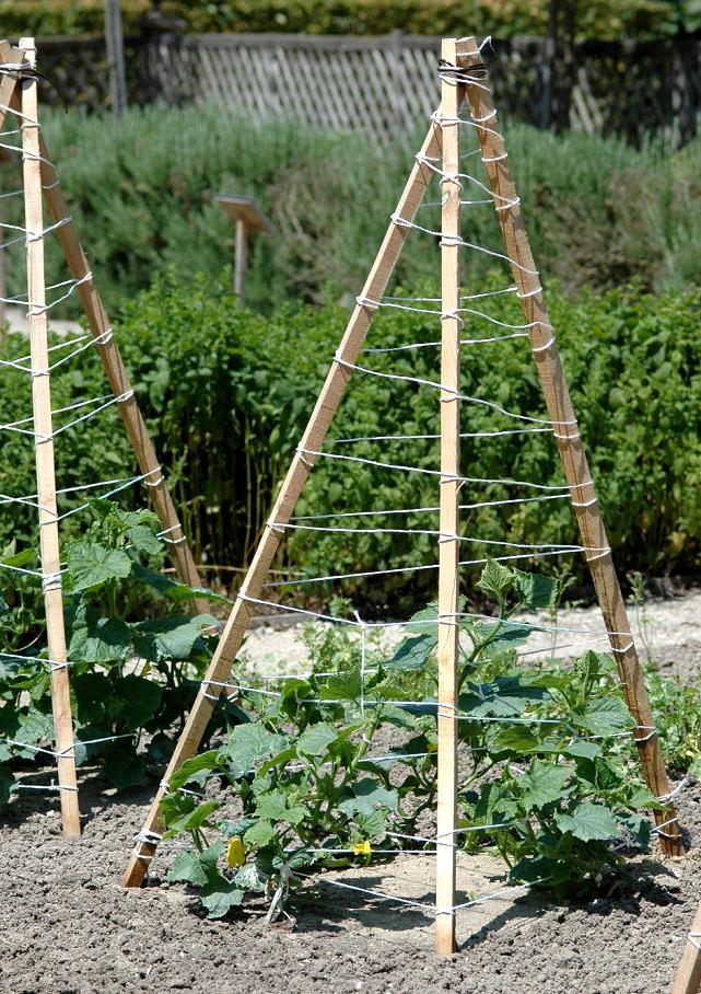 Cornichon planter et cultiver ooreka for Entretien concombre jardin