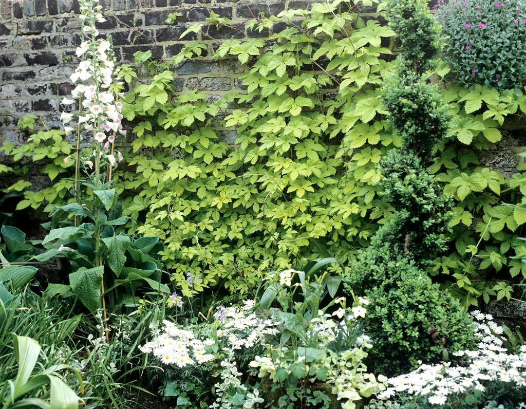 Houblon planter et cultiver ooreka for Plante jardin