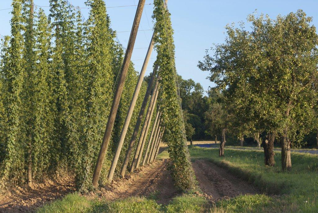 Houblon planter et cultiver ooreka for Plantation de cannabis en exterieur