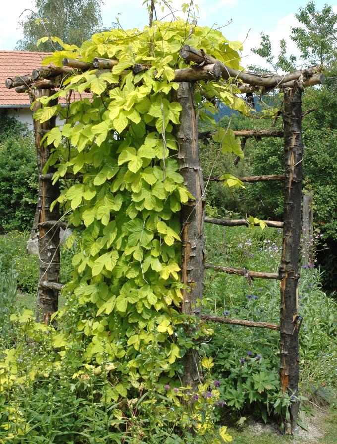 Houblon Planter Et Cultiver Ooreka
