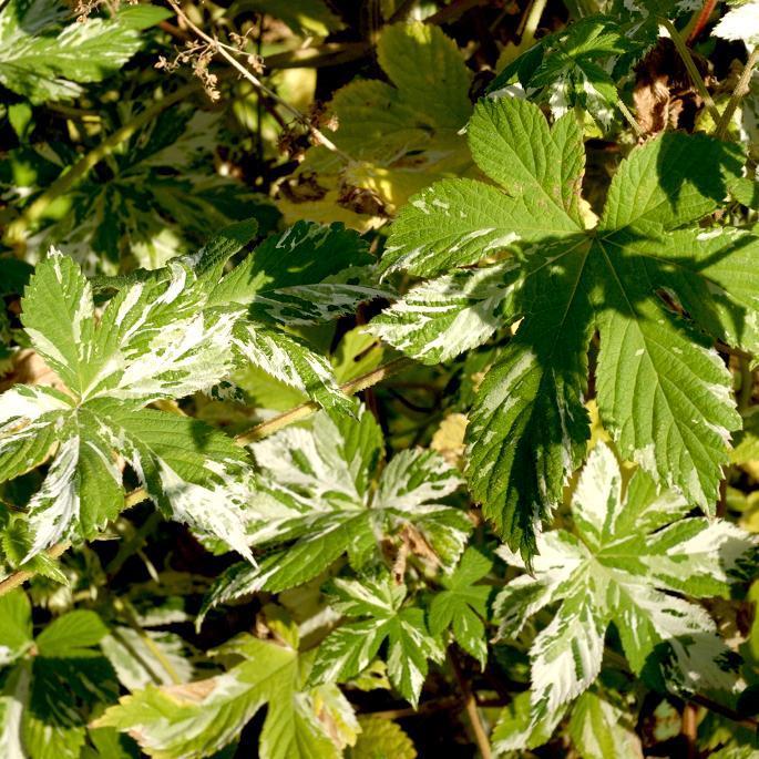 Houblon du Japon (Humulus japonicus) 'Variegatus'