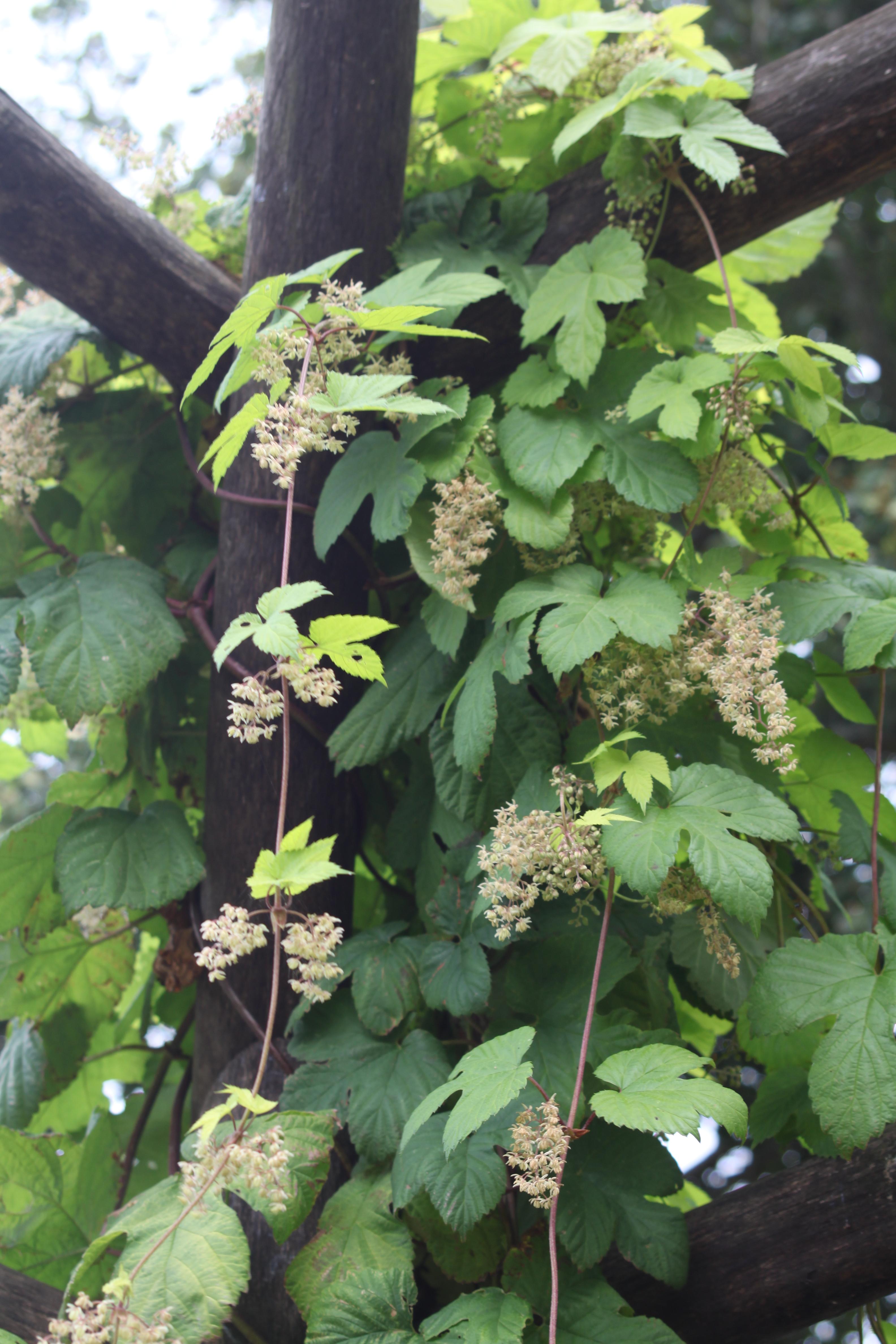 houblon   planter et cultiver  u2013 ooreka
