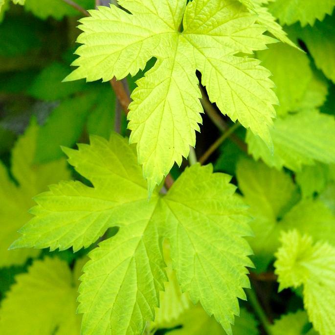 Houblon doré (Humulus lupulus) 'Aureus'
