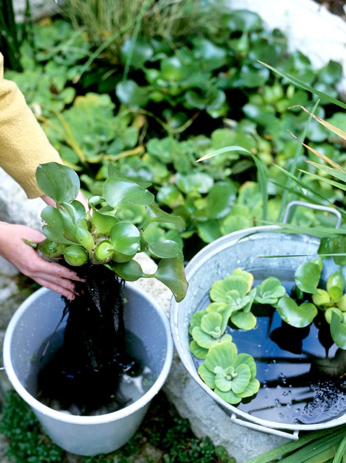 Jacinthe d eau planter et cultiver ooreka for Plante 4 images 1 mot