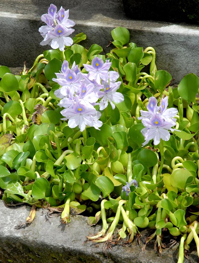 plante aquatique jacinthe d'eau