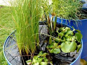 Plantation des jacinthes d'eau