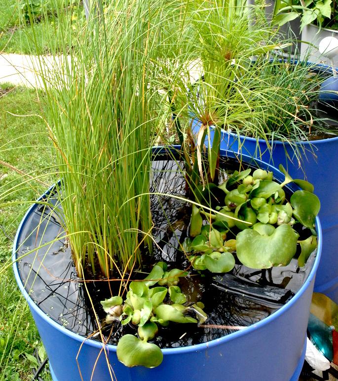 jacinthe d eau planter et cultiver ooreka. Black Bedroom Furniture Sets. Home Design Ideas