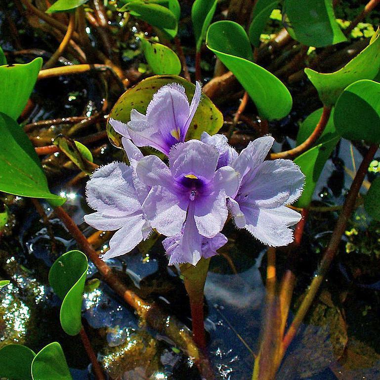 Eichhornie bleu ciel (Eichhornia azurea)