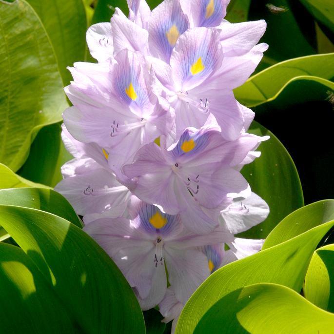Eichhornie à pied gras (Eichhornia crassipes)