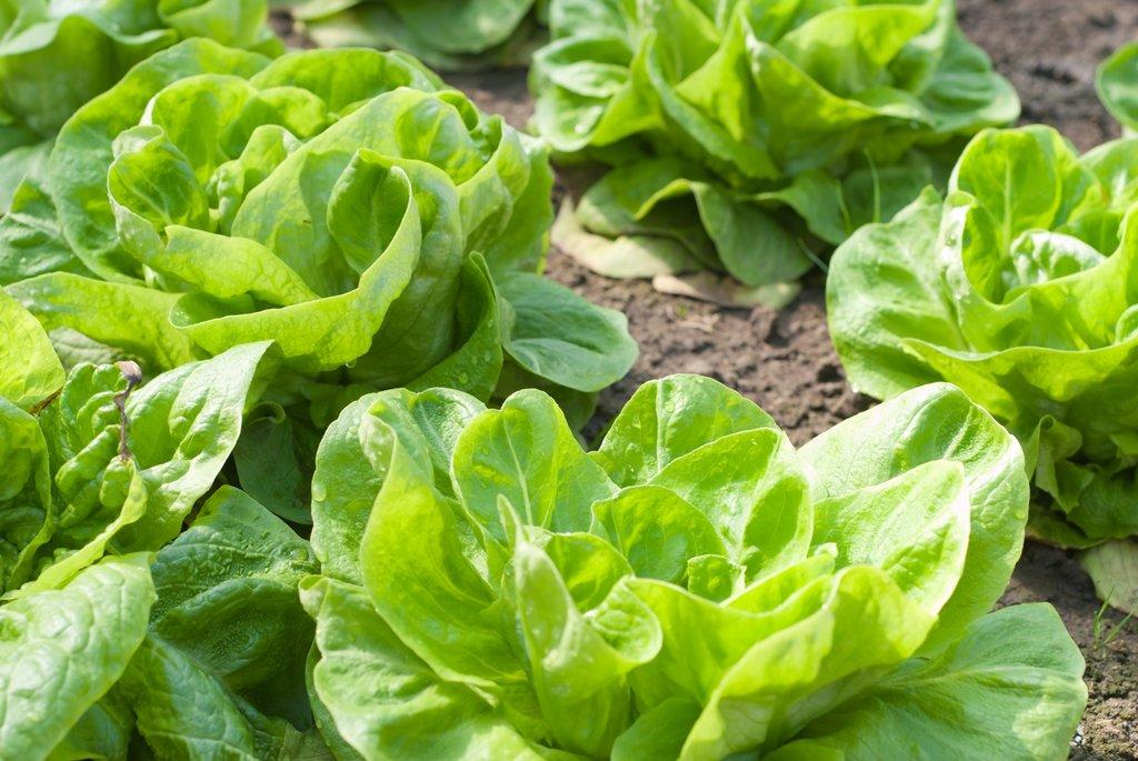 laitue : planter ou semer – ooreka