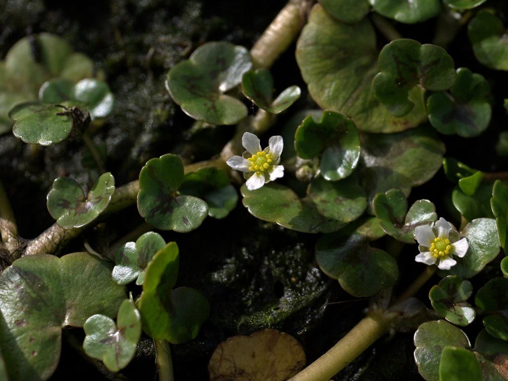 plante aquatique eau douce 6 lettres