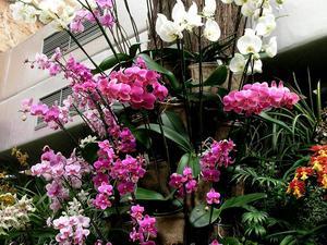 Culture et entretien du phalaenopsis
