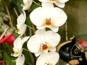 Multiplication du phalaenopsis