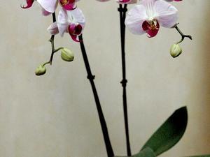 Semis et plantation du phalaenopsis