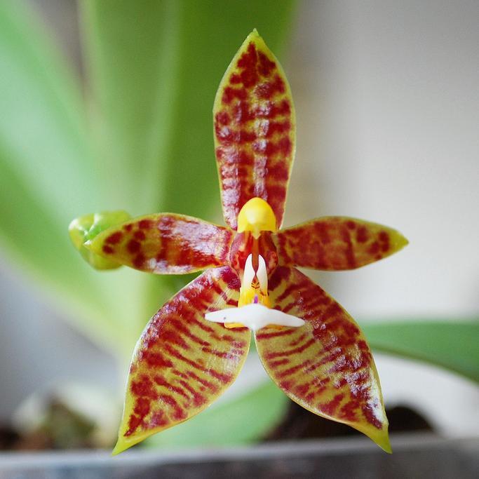 Phalaenopsis botaniques Phalaenopsis cône de cerf (Phalaenopsis cornu-servi)