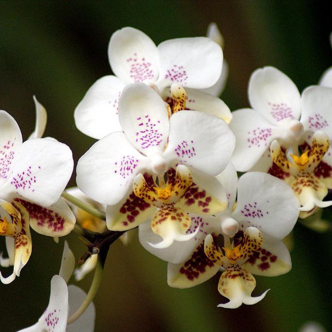 Phalaenopsis botaniques Phalaenopsis de Stuart Low (Phalaenopsis stuartiana)