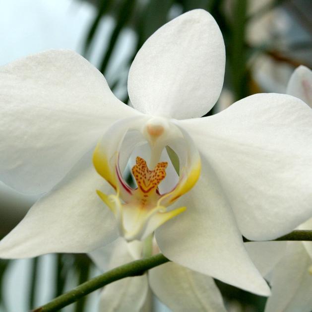 Phalaenopsis botaniques Phalaenopsis aimable (Phalaenopsis amabilis)