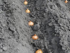 Semis et plantation de l'oignon