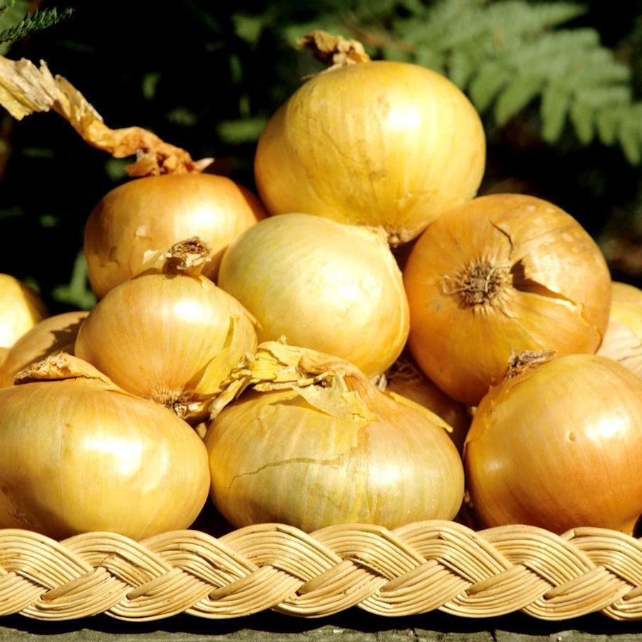 Oignons jaunes 'Paille des Vertus'