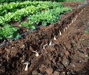 Semis et plantation de l'échalote