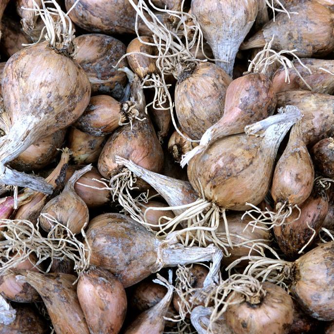 Échalote grise (Allium oschaninii) Griselle