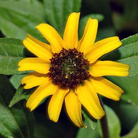 Sanvitalia procumbens ou speciosa 'Mandarin orange'