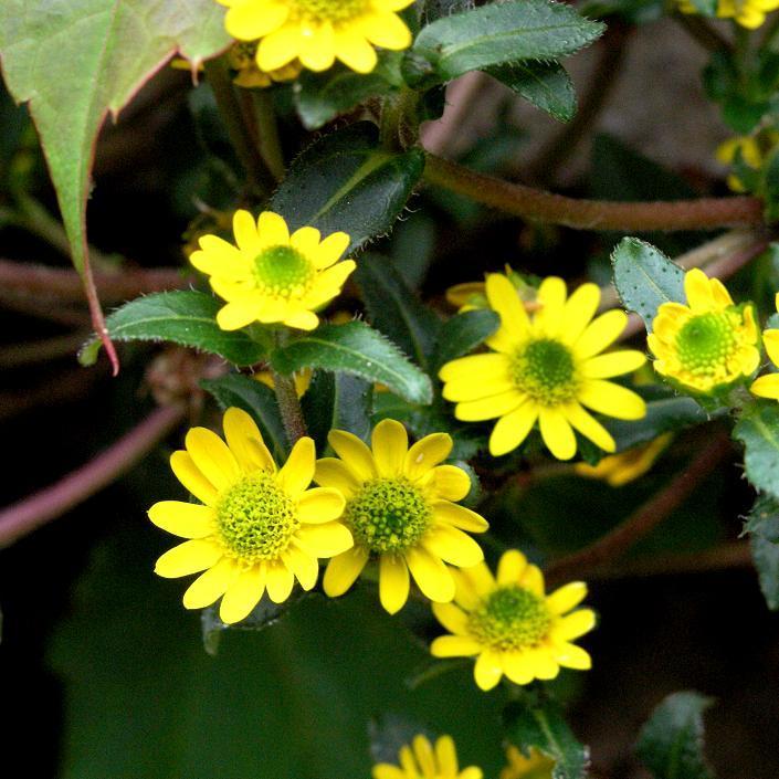 Sanvitalia procumbens ou speciosa 'Sprite jaune'