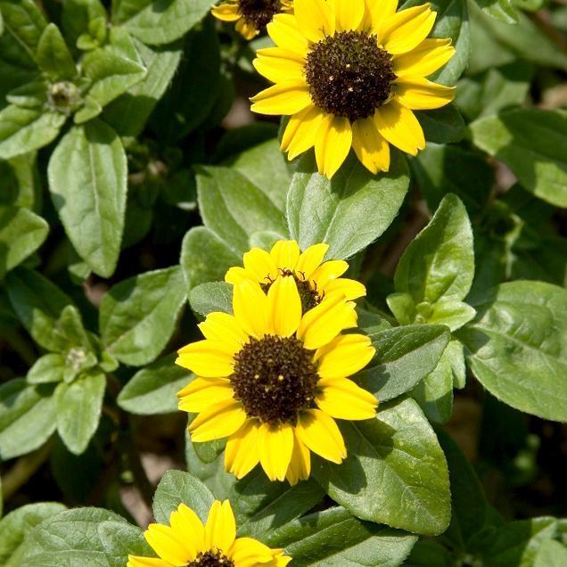 Sanvitalia procumbens ou speciosa Espèce type