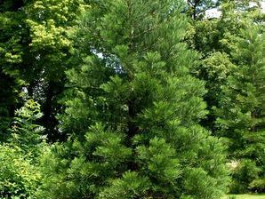 Plantation du séquoia