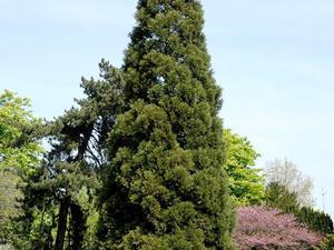 Multiplication du séquoia