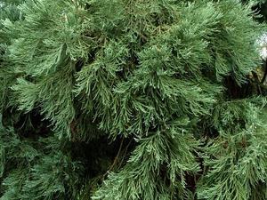Culture et entretien du séquoia