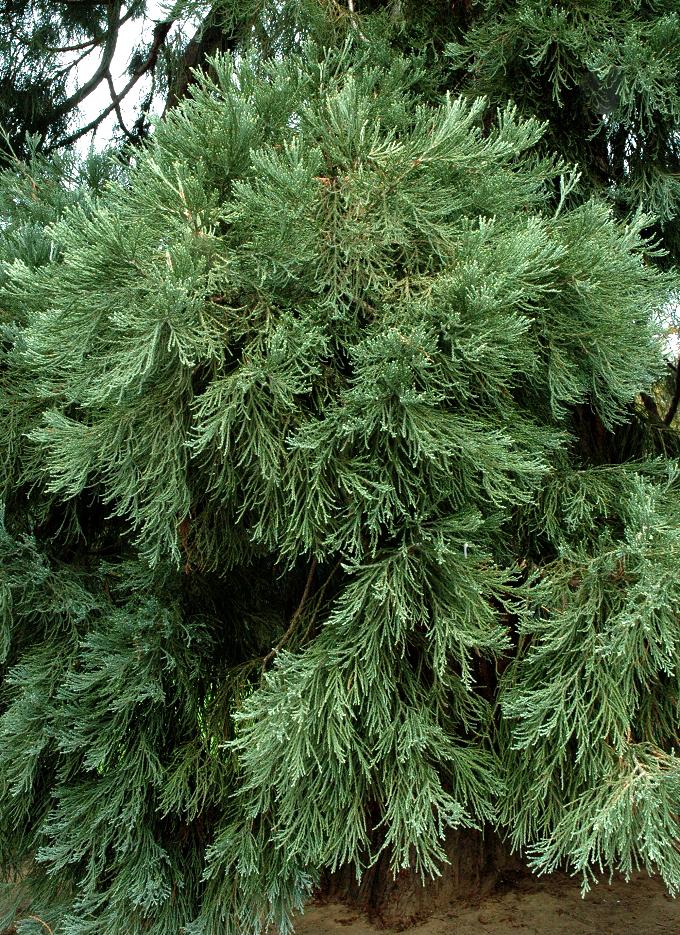 s u00e9quoia   planter et tailler  u2013 ooreka