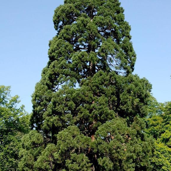 Cultivars Séquoia géant bleu (Sequoiadendron giganteum 'Glaucum')