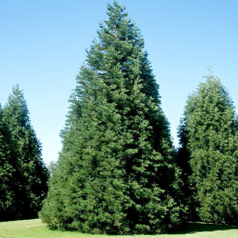 Espèces types Séquoia toujours vert, à feuilles d'if (Sequoia sempervirens)