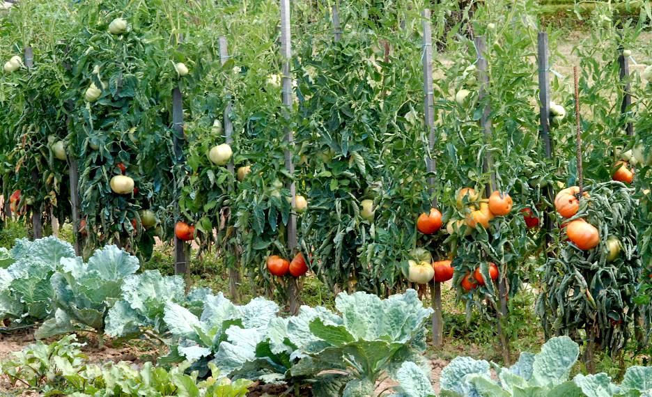 Tomate semer et cultiver ooreka - Distance entre pied de tomate ...