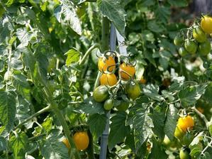 Culture et entretien de la tomate-cerise