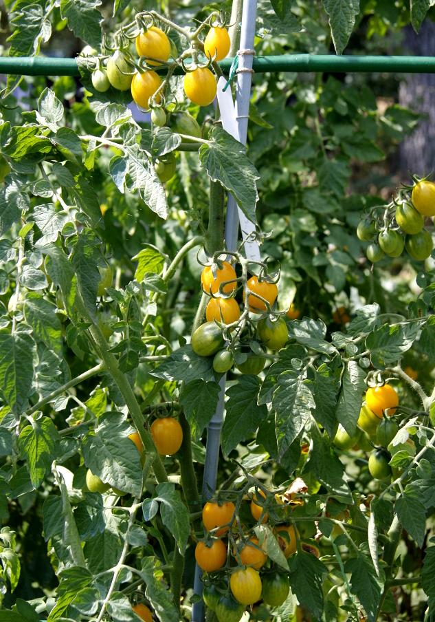 Tomate cerise : planter et cultiver - Ooreka