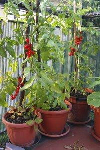 Tomate cerise planter et cultiver comprendrechoisir - Quand planter des tomates cerises ...