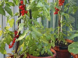 Semis et plantation de tomate-cerise