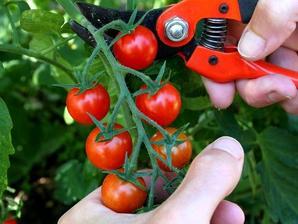 Tomate cerise planter et cultiver ooreka - Quand planter les tomates cerises ...