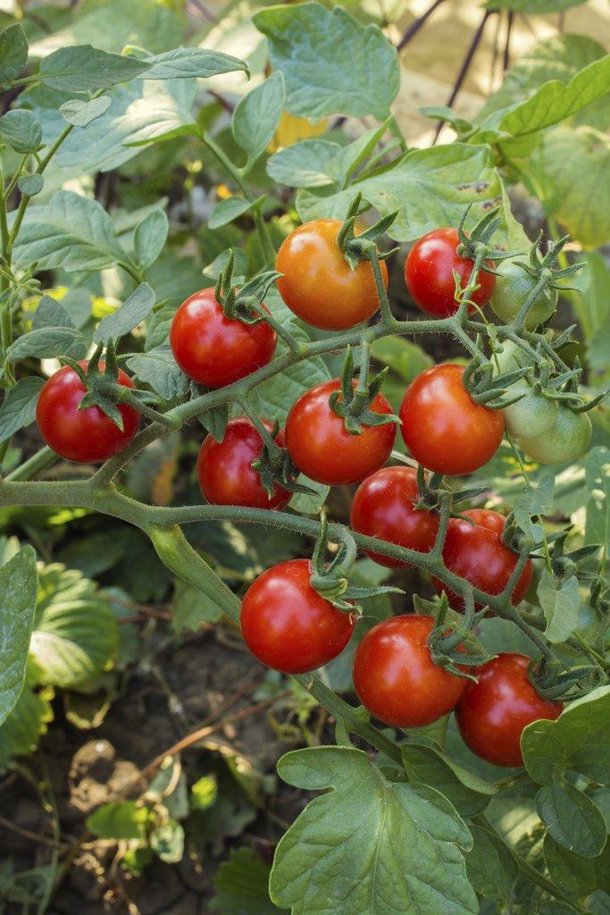 Tomate Cerise Planter Et Cultiver Ooreka
