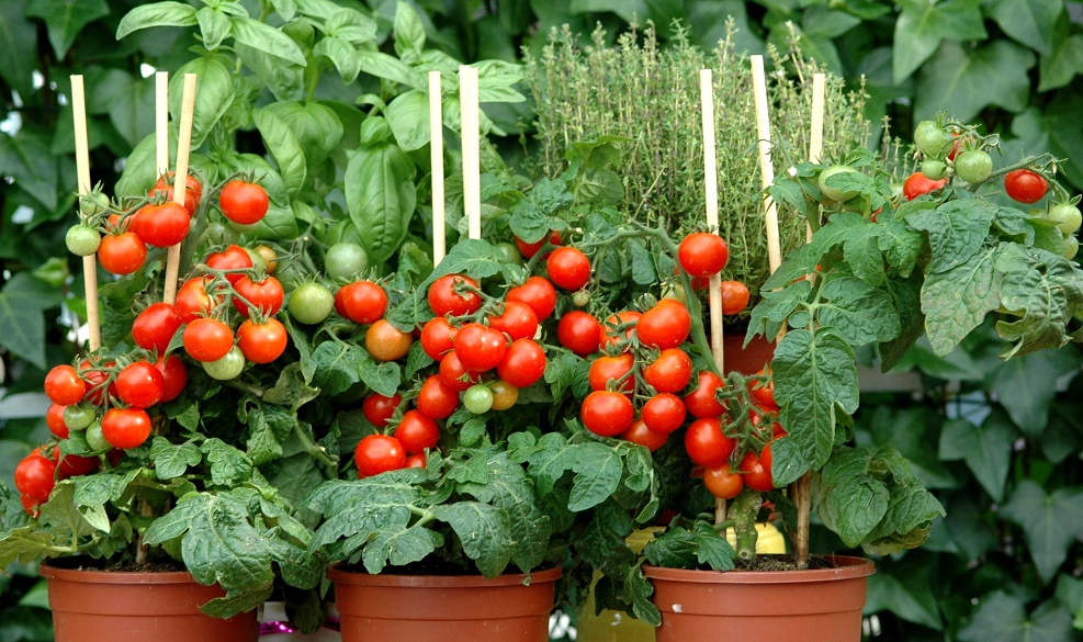 Tomate cerise planter et cultiver ooreka - Tailler plant de tomate ...
