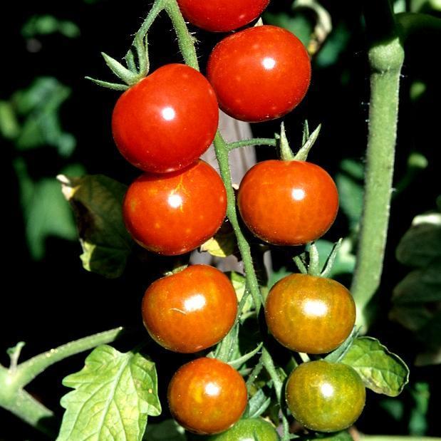 Tomates-cerises de mi-saison 'Supersweet 100'