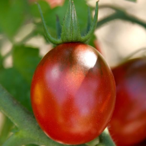 Tomates-cerises de mi-saison 'Prune noire'