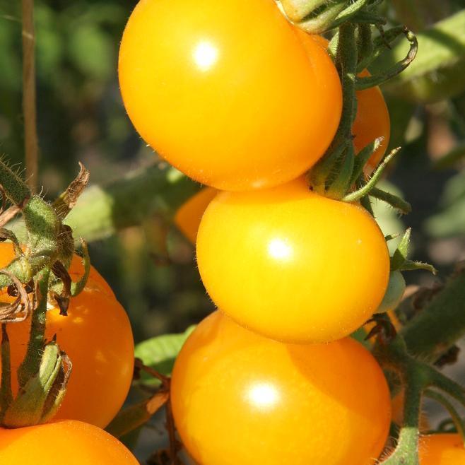 Tomates-cerises précoces 'Cocktail Clementine' (syn. 'Mirabella Jaune')
