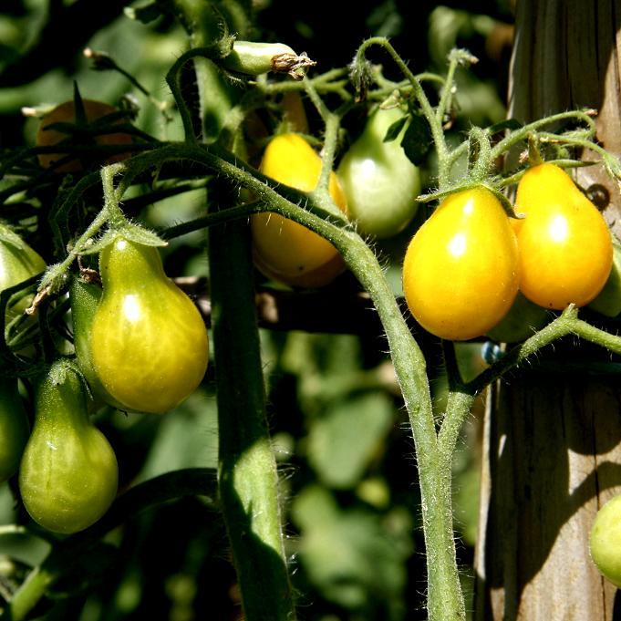Tomates-cerises précoces 'Poire jaune' (syn. 'Yellow Pear')
