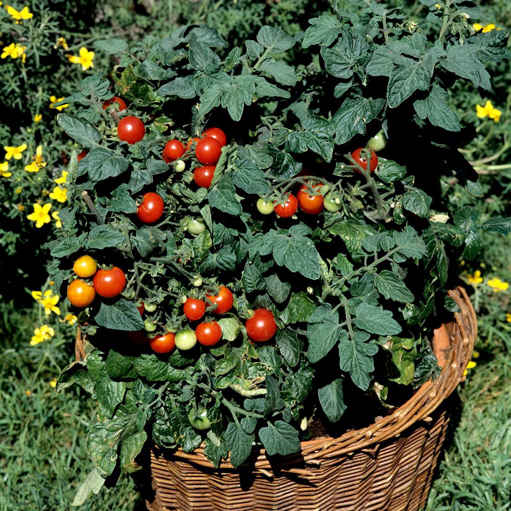 Tomate cerise planter et cultiver ooreka - Plant de tomate cerise ...