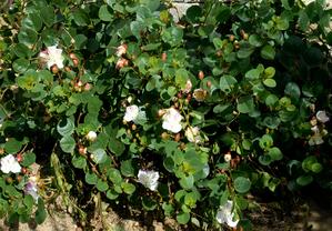 Semis et plantation du câprier