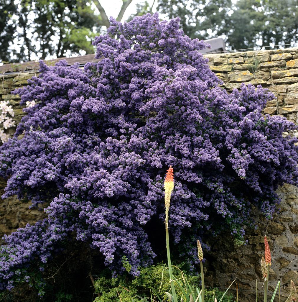 C anothe planter et tailler ooreka - Faut il couper les jonquilles apres floraison ...